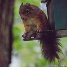 Red squirrel on a feeder